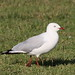 Silver Gull - Photo (c) Arthur Chapman, some rights reserved (CC BY-NC-SA)