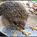 Eastern European Hedgehog - Photo (c) Eran Finkle, some rights reserved (CC BY)
