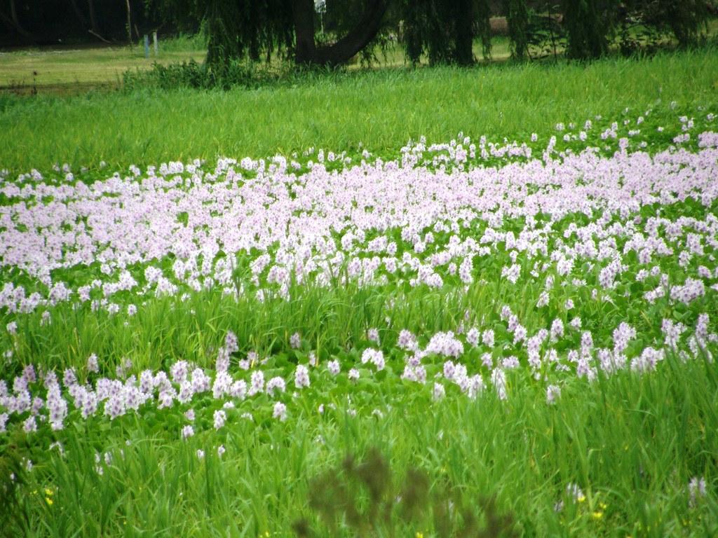camalotes florecidos 2