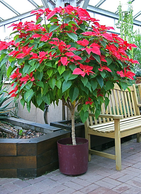 Poinsettia Tree Flickr Photo Sharing