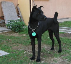 dog breed(1.0), animal(1.0), dog(1.0), pet(1.0), guard dog(1.0), pinscher(1.0), formosan mountain dog(1.0), patterdale terrier(1.0), carnivoran(1.0), terrier(1.0),