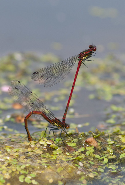 large red damselfly oviposting pair 2