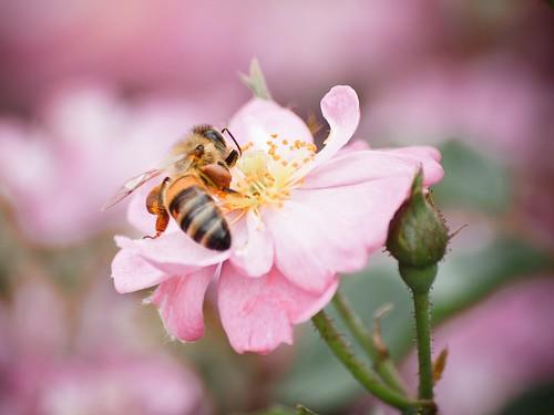 rose © bee pollen honeybee garyburke zuiko70300mm e620 copyrightedallrightsreserved pollinatoratwork