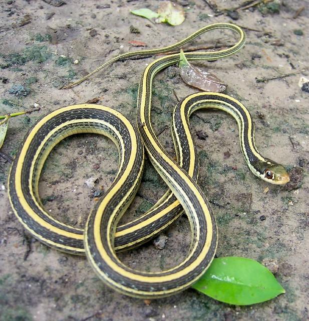 Gulf coast ribbon snake thamnophis proximus orarius Garden snakes in texas
