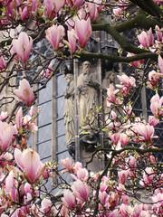 flower, magnolia, flora, spring, pink, petal,