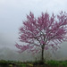 Mountain Redbud by CountryDreaming