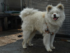 dog breed, animal, dog, eurasier, pet, greenland dog, carnivoran,