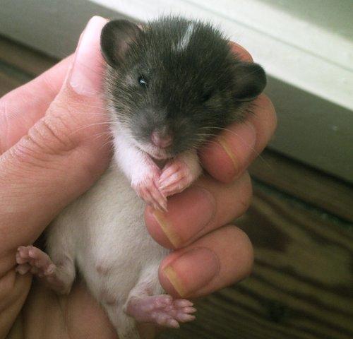 Cute baby rats - photo#1
