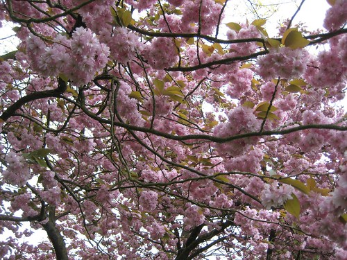 Flowering Tree   close up