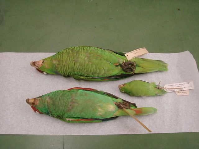 whtie fronted front and lilac crowned back parrots West Mexican Birds, museum skins 025
