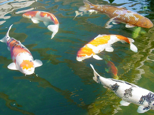 Koi in the big pond 2 mystic koi and water gardens upland for Koi pool water gardens cleveleys
