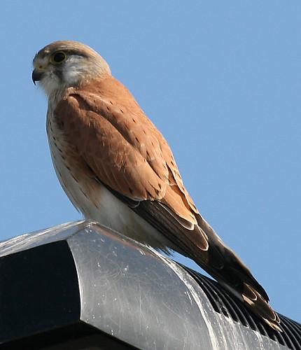 birds australiankestrel newingtonarmory