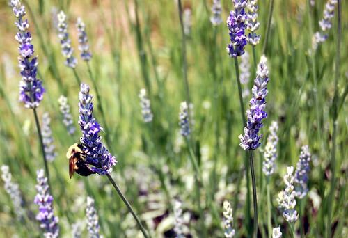 Lavender Bee Series I