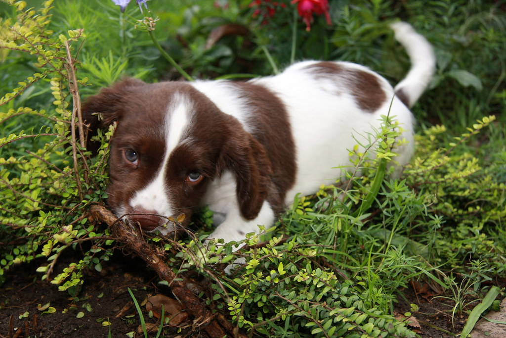 Sprocker Dogs Adult Groomed