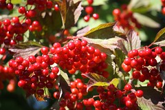 shrub, berry, branch, red, plant, flora, produce, fruit, food, aquifoliales,