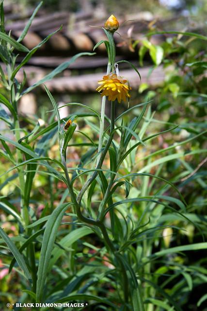 Chrysocephalum apiculatum - Common Everlasting,Yellow Buttons