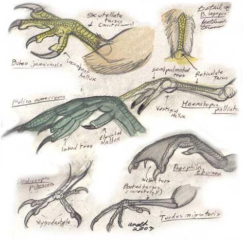 Anatomy of birds