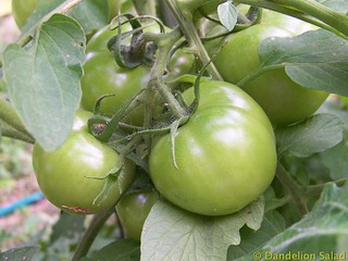 Big Green Tomatoes