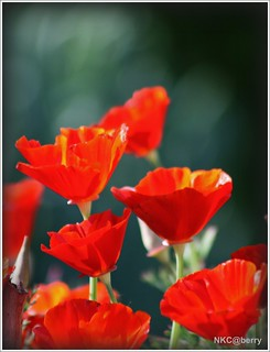 California Poppy ( Red )