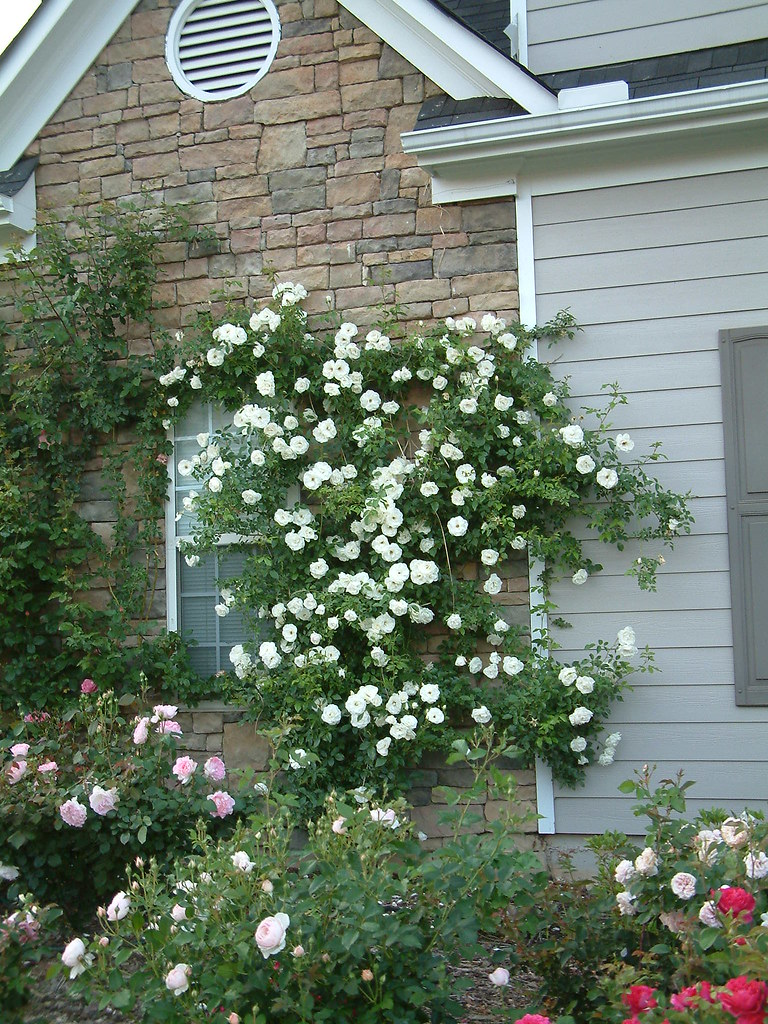 How do i train a climbing rose to grow on a fence - Climbing rose trellis ...