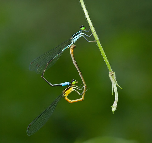 damselflies mating, in tandem DSC_7731 web
