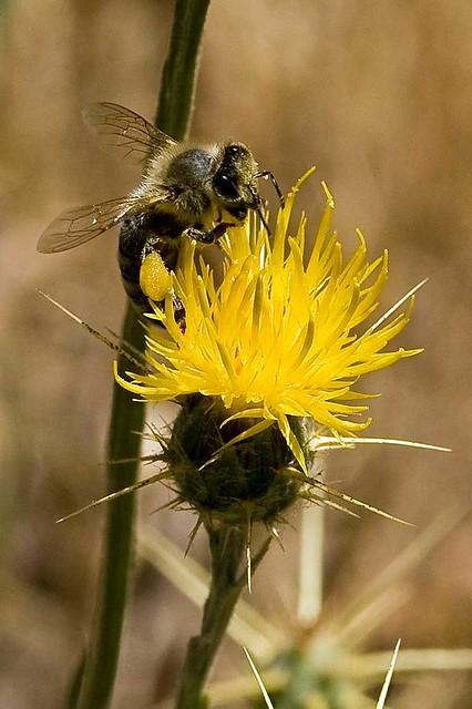 Bee on Yellow Starthistle (Centaurea solstitialis) at Arastradero Preserve