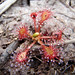 Spoonleaf Sundew - Photo (c) Chris Moody, some rights reserved (CC BY-NC)
