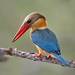 Stork-Billed Kingfisher by wokoti