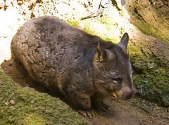 pig-like mammal(0.0), animal(1.0), wombat(1.0), mammal(1.0), fauna(1.0), wildlife(1.0),