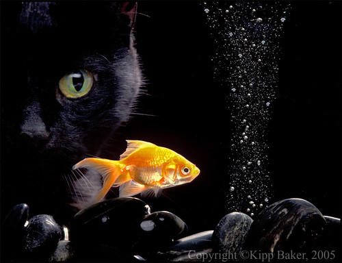 Black Cat N Gold Fish