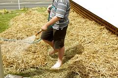 straw, hay, grass, plant,