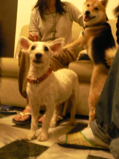 柴犬都有张爱笑的脸