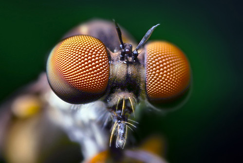 Compound Eyes of a Robber Fly - (Holcocephala fusca)