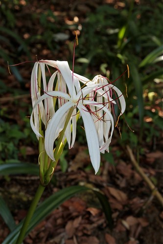 Crinum cf asiaticum (Amaryllidaceae)