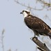 Osprey Are Back!