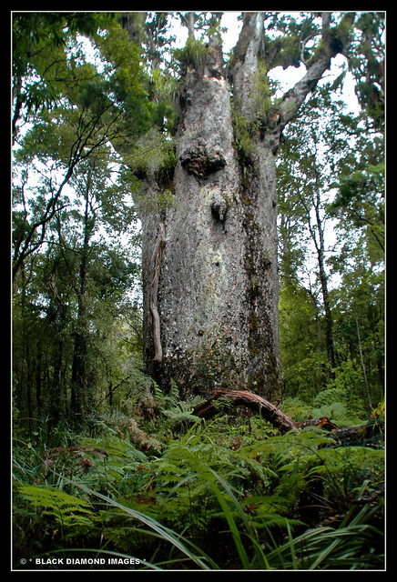 Agathis australis - Matua Ngahere - Father of the Forest