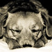 Snoozin Time by Marc Bibby Dogtography