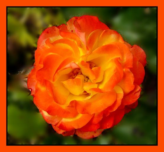 Red Orange Roses Red.orange rose.