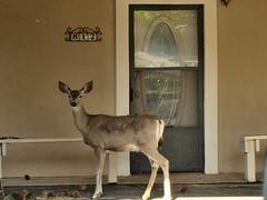 deer on porch