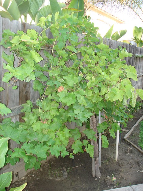 Grapes growing in the backyard | Explore msabcmom's photos ...