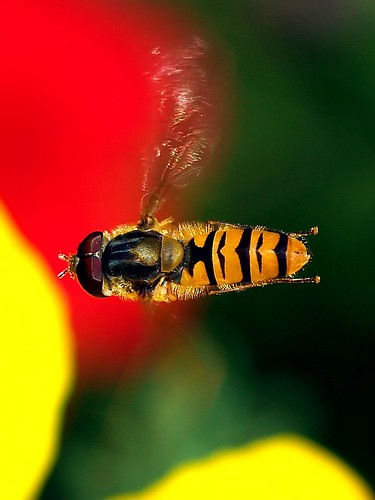 A hoverfly in flight.