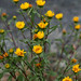 Gumweed - Photo (c) peardg, some rights reserved (CC BY)