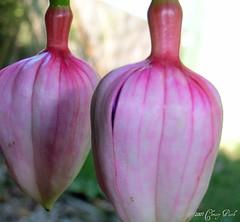 Fuchsia Buddies
