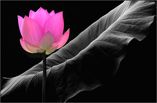 Pink+Lotus+Flower+Pictures