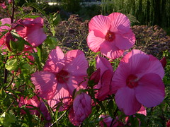 Flowers at North Point Park - Giant pink flower