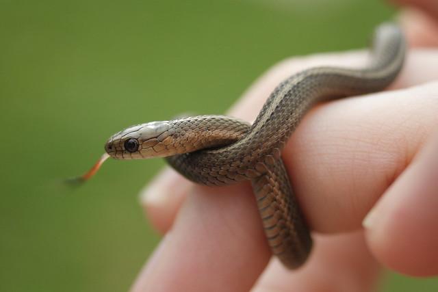 Photo of Short-headed Garter Snake