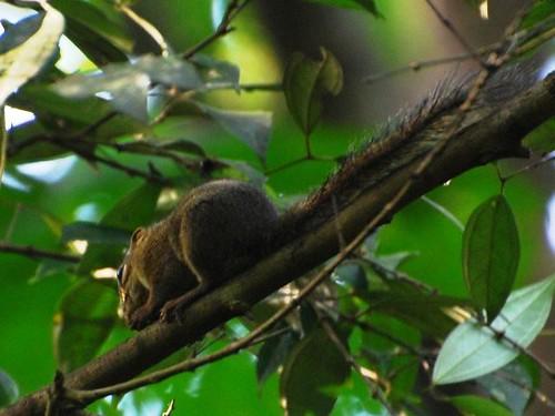 Slender Squirrel