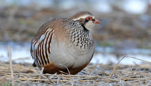 Red Legged Partridge 1