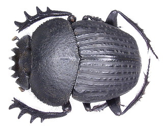 Scarabaeus catenatus Gerstaecker, 1871