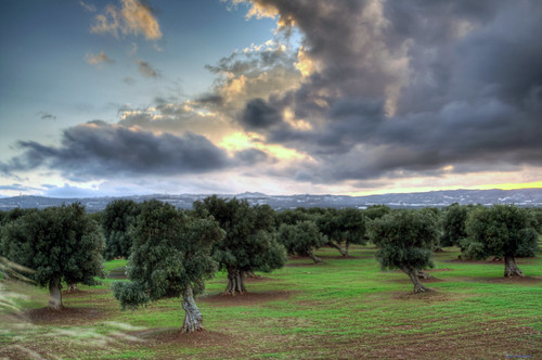 cloudy olives in salento